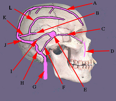 Dural Venous Sinuses: Lateral View A. Superior Sagittal Sinus