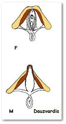 ... erect penis insertion inferolateral aponeurosis over crura of penis